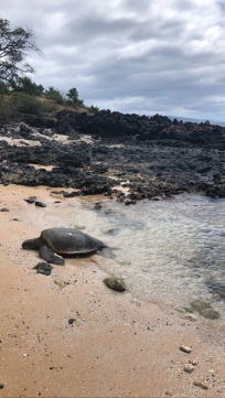 Honu (sea turle) resting on the beach. Low tide in the mid afternoon